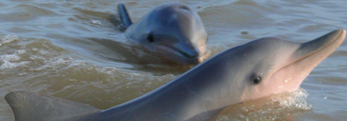 Suriname_Commewijne_Zoetwater dolfijnen