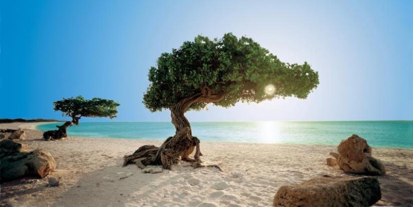 Vliegreis Aruba divi divi boom